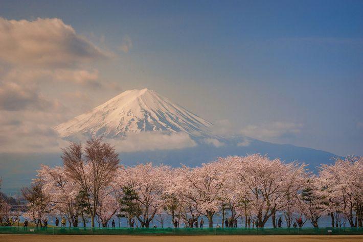 Rodeado por árvores de cerejeiras em flor, e pelo sereno Lago Kawaguchiko, Dungo captou a beleza ...
