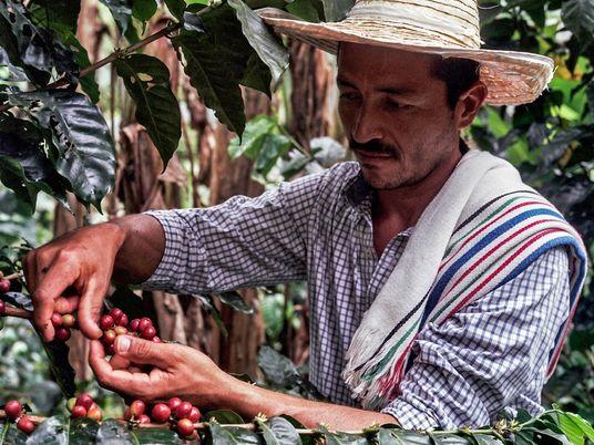 A cultura do café continua a alimentar a esperança em Caquetá, na Colômbia