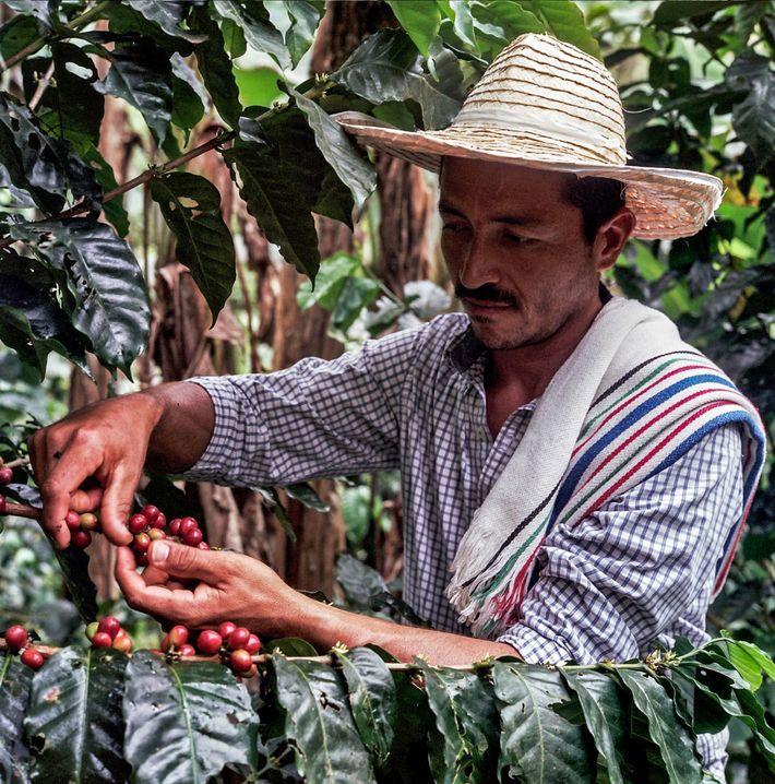 O renascimento do café em Caquetá continua