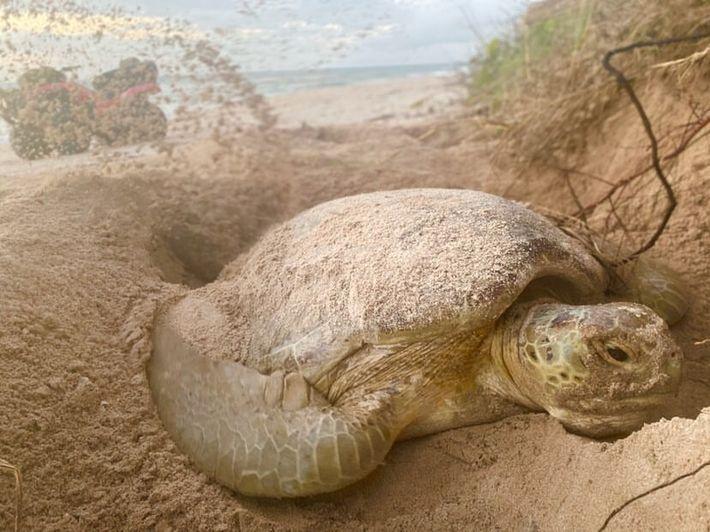 Na Flórida, uma tartaruga-verde cobre os seus ovos com areia. Este ano, alguns investigadores descobriram um ...