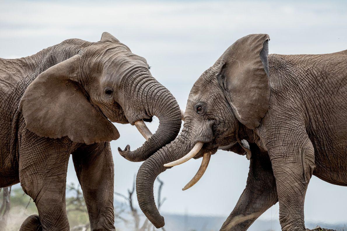 Na conservação de Mara Naboisho, no Quénia, os elefantes macho enfrentam-se com as suas afiadas presas ...