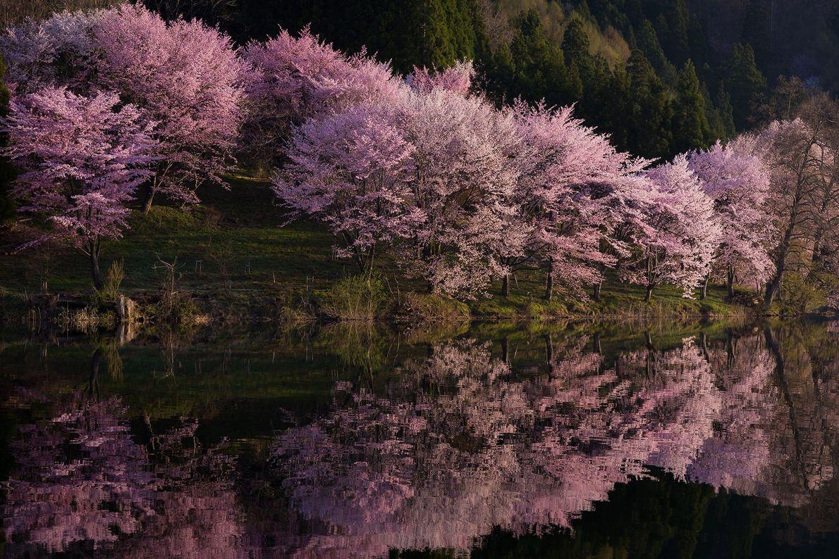 Com mais de 200 variações de árvores de cerejeira ornamentais, as flores de cerejeira do Japão ...
