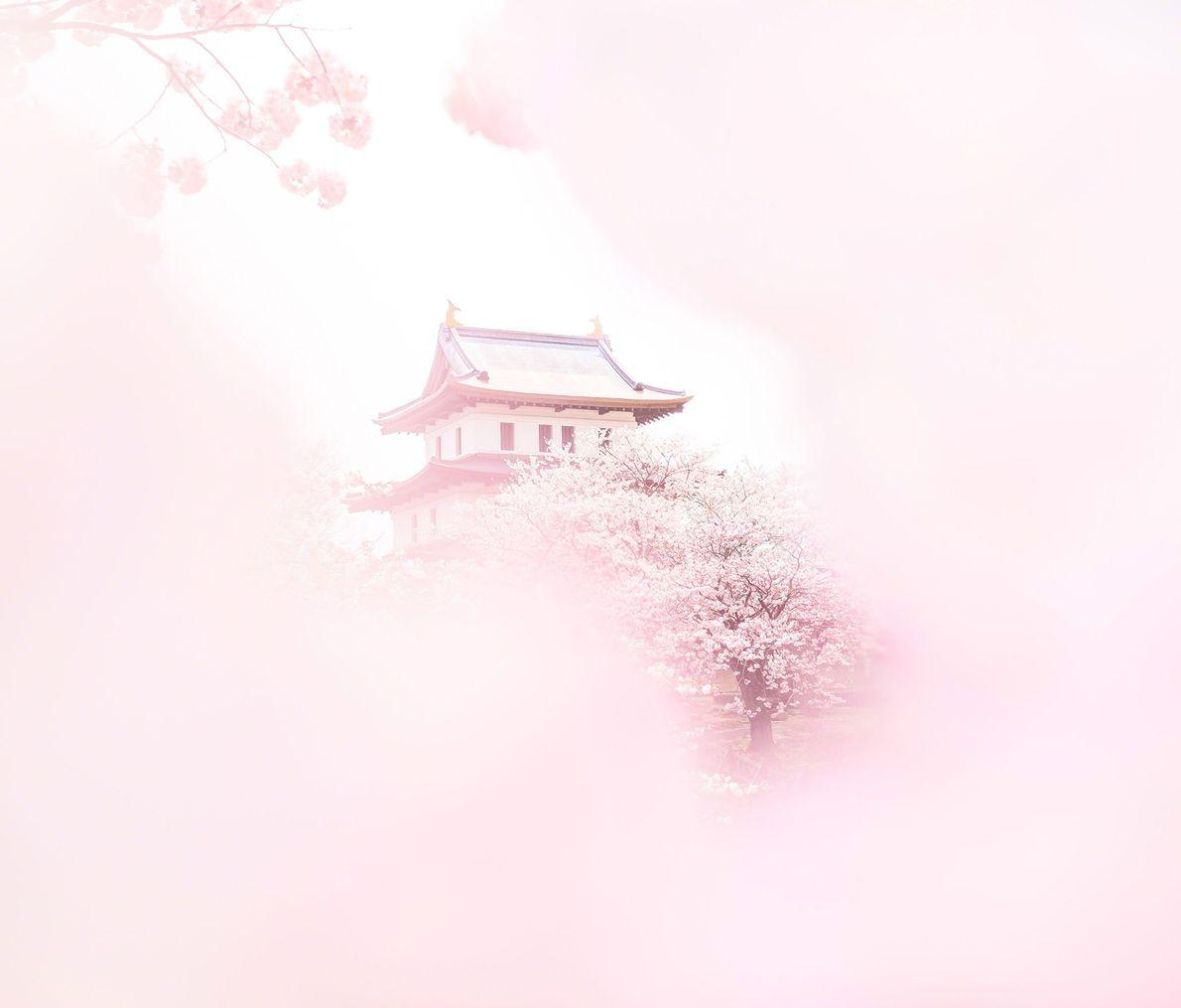 Simbolizando a renovação, a esperança e a brevidade da vida, as flores de cerejeira envolvem a ...