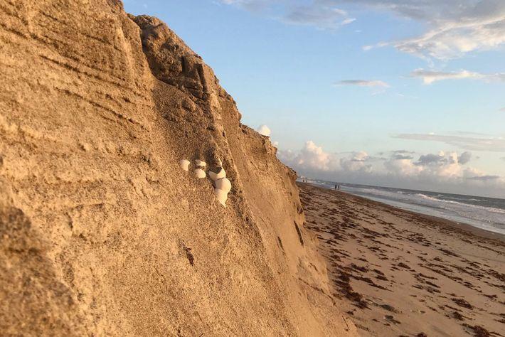 A erosão costeira provocada por furacões e ventos fortes pode afetar os ninhos de tartarugas marinhas, ...