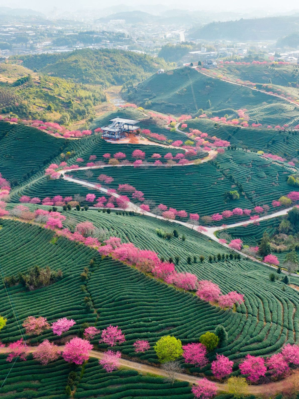 Paisagens verdejantes e copas de árvores rosa flamingo criam um cenário fantástico na região de Fujian, ...