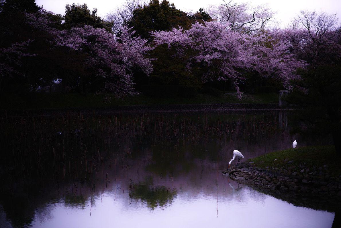 Ohtani capta um momento tranquilo de primavera, em Quioto. Um dos melhores lugares para ver flores ...