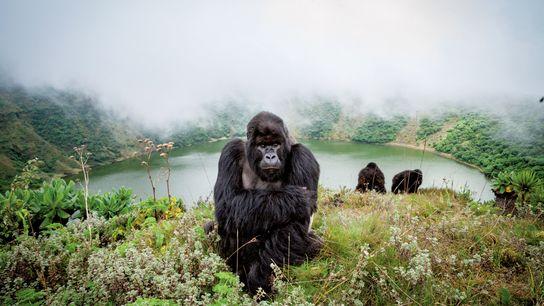 Um dos últimos refúgios para os gorilas-das-montanhas é o Parque Nacional dos Vulcões do Ruanda, onde ...