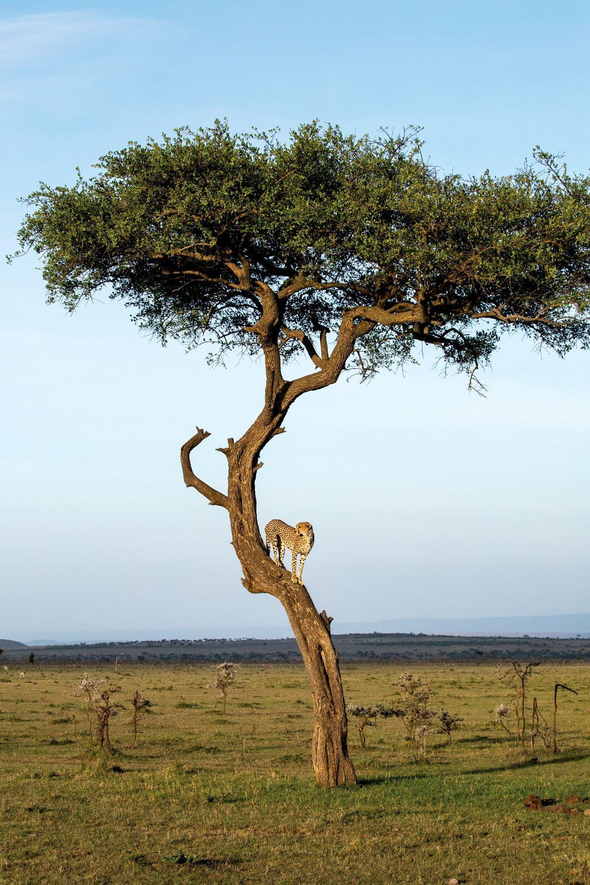 A conservação de Mara Naboisho é um refúgio para grandes felinos, incluindo chitas.
