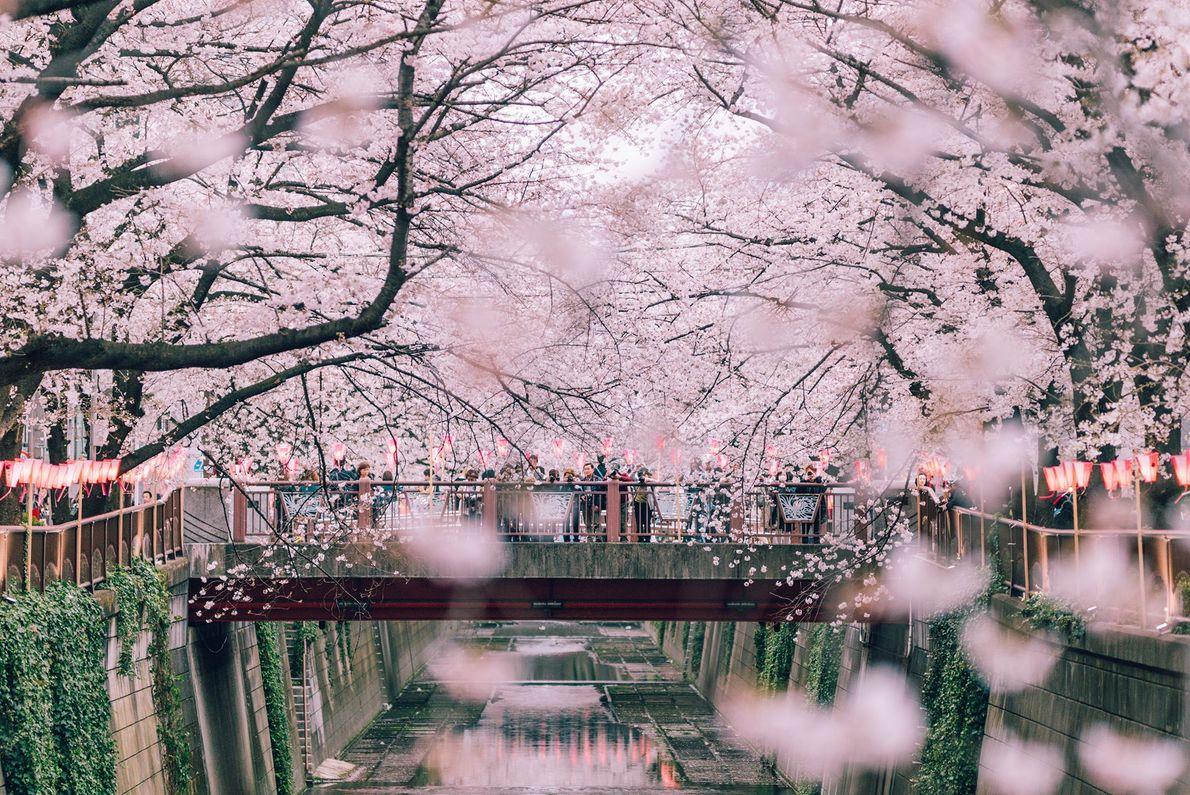 Esta passagem com flores de cerejeira apresenta mais de 800 árvores, em floração plena, ao longo ...