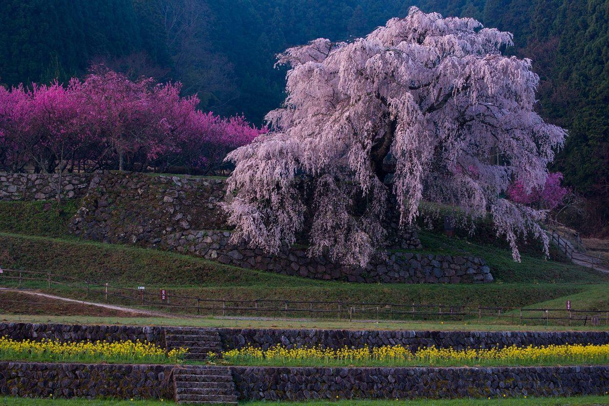 Kaneko escreve que, segundo a lenda, esta árvore caída de flor de cerejeira é o local ...