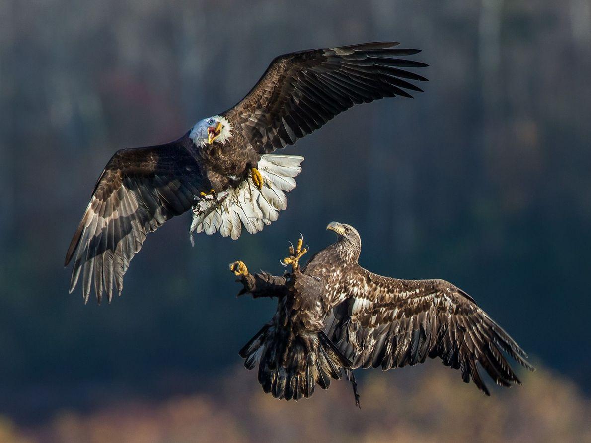Uma águia-careca adulta e outra juvenil disputam um peixe