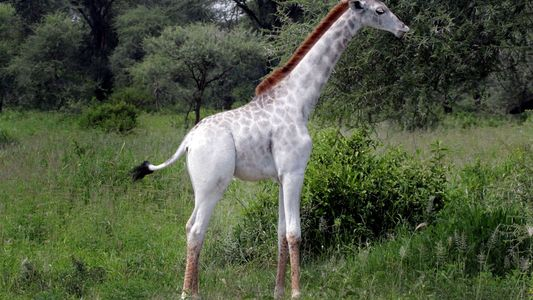 Imagens: Girafa Branca Rara e Outros Animais Pálidos Invulgares