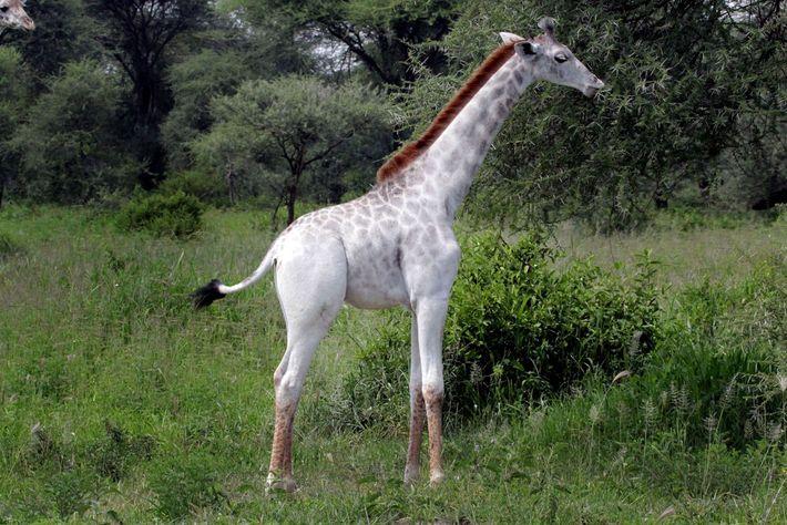 Girafa branca