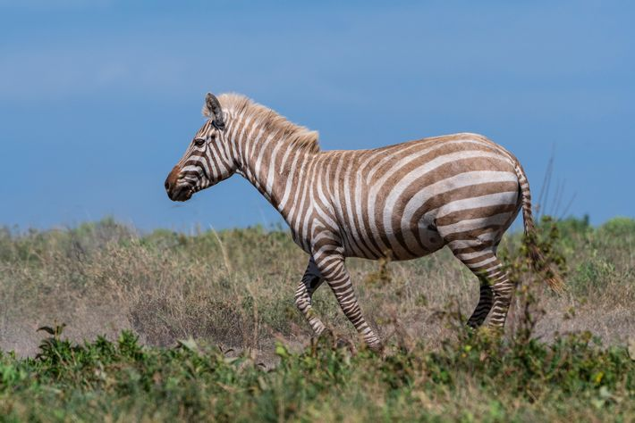 Uma zebra extremamente rara, com albinismo parcial, passeia por um vale no Parque Nacional do Serengeti.