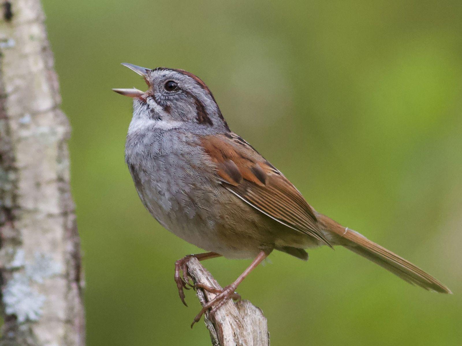 Um macho do tico-tico-dos-pântanos entoa uma melodia antiga.