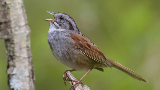 Este Pássaro Entoa o Mesmo Canto Há 1000 Anos