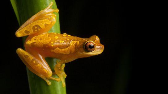 Muitas espécies de anfíbios, incluindo os sapos 'Dendropsophus ebraccatus' – retratado nesta fotografia captada na Costa ...