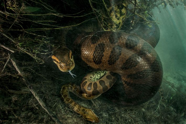Anaconda fêmea mata o macho