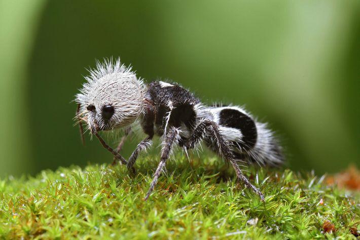 A formiga-panda não é uma coisa nem outra – é uma vespa nativa do Chile.