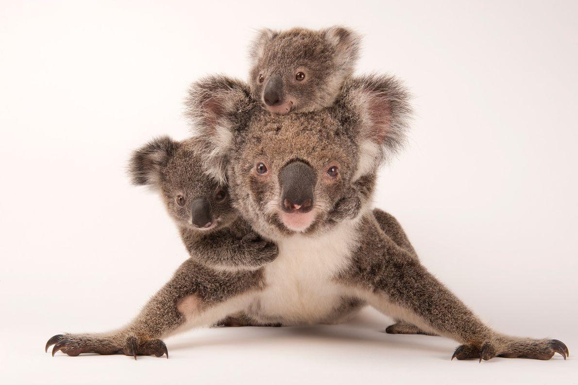 BEBÉS A BORDO Quando os coalas (Phascolarctos cinereus) nascem, passam os primeiros seis meses de vida na …
