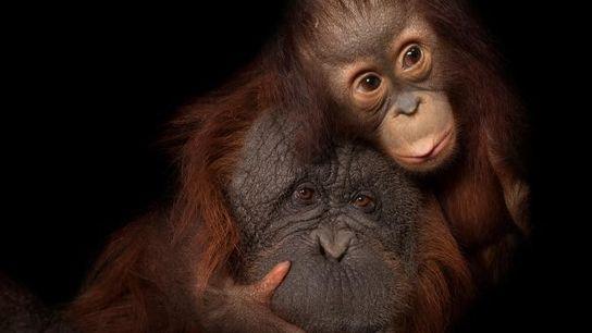 Enquanto Aurora, a cria de orangotango, se enrosca na mãe adotiva Cheyenne no Jardim Zoológico de ...