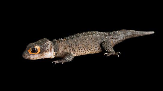 As lagartixas de crocodilo de olhos vermelhos transformaram-se em animais de estimação muito populares, mas ninguém ...