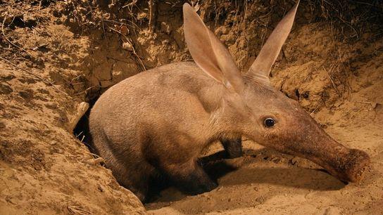 Um porco-formigueiro emerge do solo no Vale de Luangwa, na Zâmbia. Estes mamíferos únicos são parentes ...