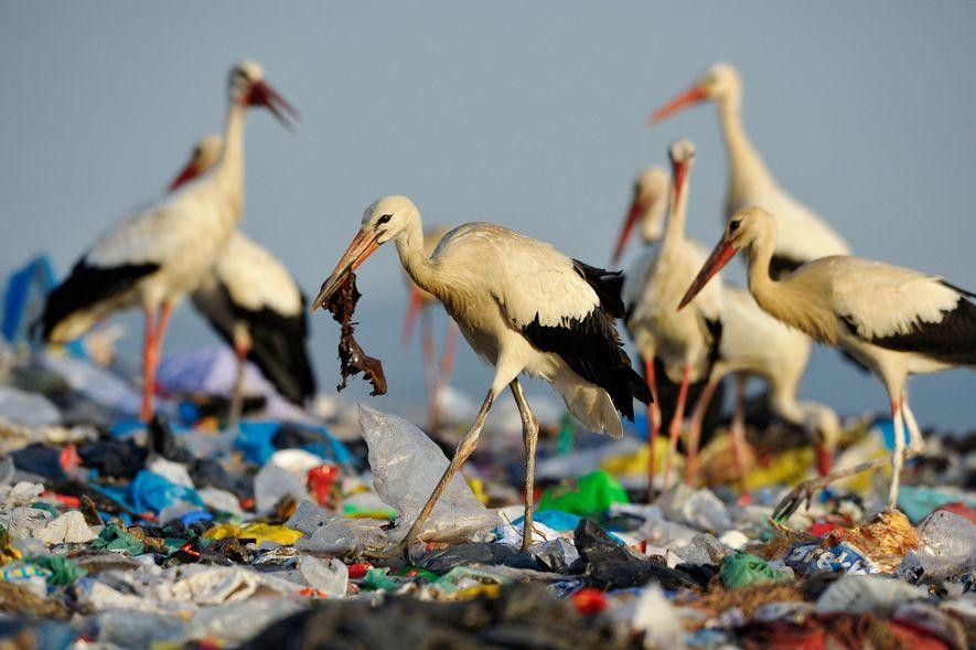 Cegonhas-brancas procuram comida num aterro em Espanha. Existe tanto lixo que as cegonhas deixaram de migrar ...