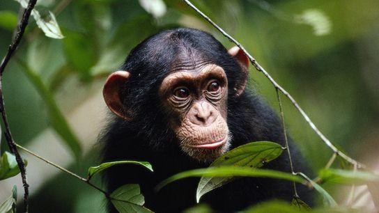 Já foram observados chimpanzés a atacar e a ostracizar outros chimpanzés que apresentavam sintomas visíveis de ...