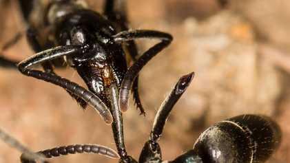 """Formigas """"Paramédicas"""" São as Primeiras a Resgatar e Curar as Suas Camaradas Feridas"""