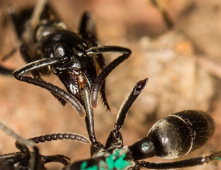 A formiga à esquerda trata a sua camarada ferida segurando no membro ferido com as mandíbulas
