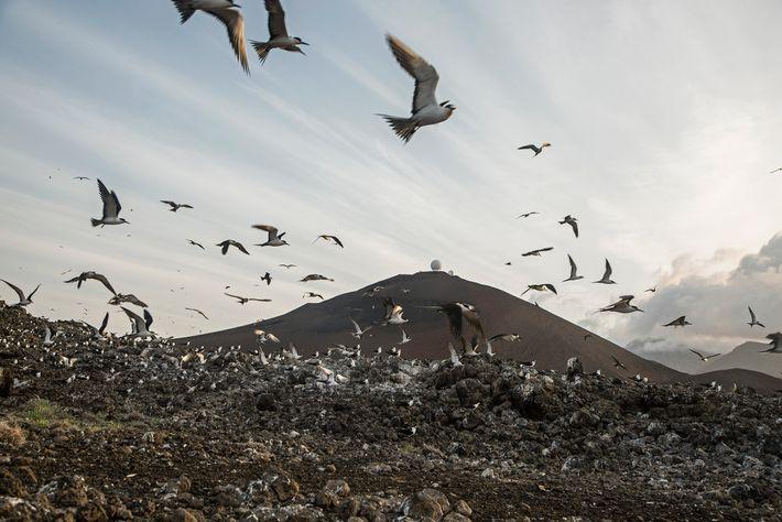 A colónia de andorinhas-escuras-do-mar na Ilha de Ascensão.