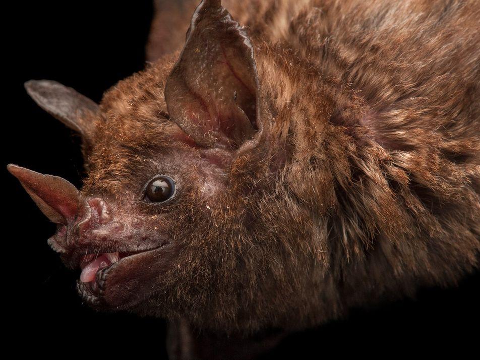Morcegos Estão a Ser Mortos Para que as Pessoas Possam Beber o Seu Sangue