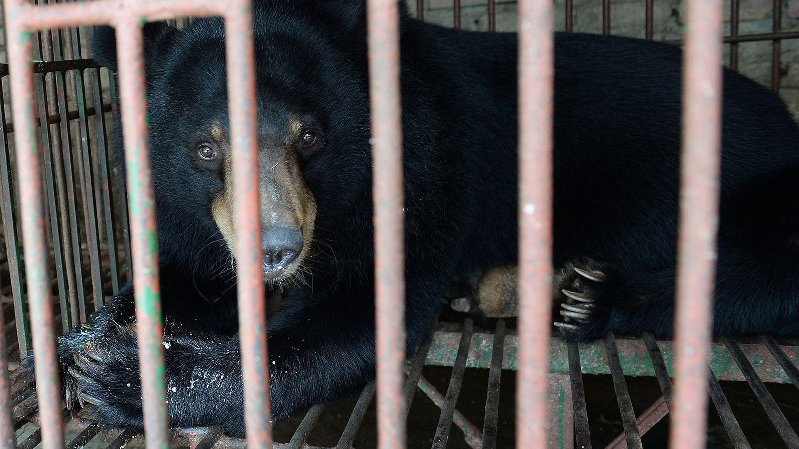 Um urso-negro-asiático.