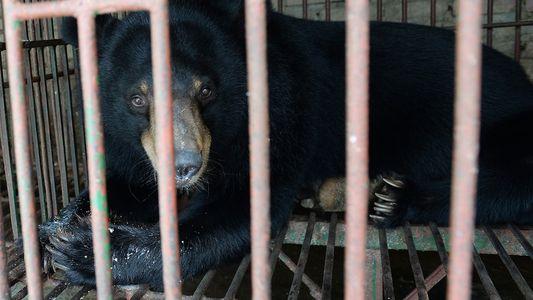 Colapso da Indústria da Bílis de Urso Ameaça Animais em Cativeiro