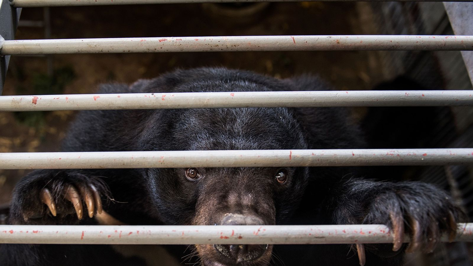Nas quintas de criação de ursos, na China e no Sudeste Asiático, é extraída bílis para ...