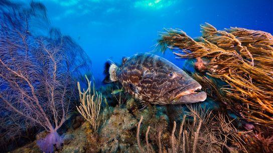 Uma garoupa-preta nada num jardim de coral, em Belize