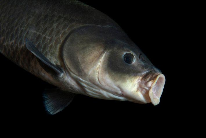Este peixe búfalo-boca-grande (Ictiobus cyprinellus) foi fotografado no Gavins Point National Fish Hatchery Aquarium, na Dakota ...