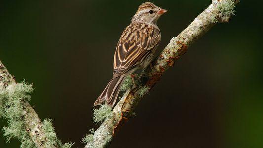 3 Mil Milhões de Aves Perdidas Desde 1970 nos EUA