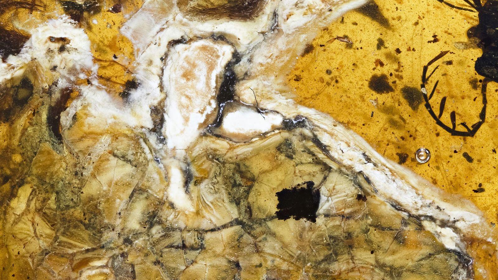 Ave do Tempo dos Dinossauros Encontrada Preservada em Âmbar.