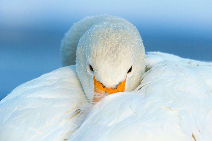 Cisne-bravo. Hokkaido, Japão