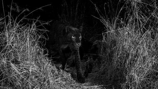 Leopardo Negro Confirmado em África Pela Primeira Vez em 100 anos