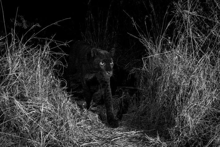 Um leopardo negro ultra-raro caminha pelo Campo Selvagem Laikipia, no Quénia central, em 2018.
