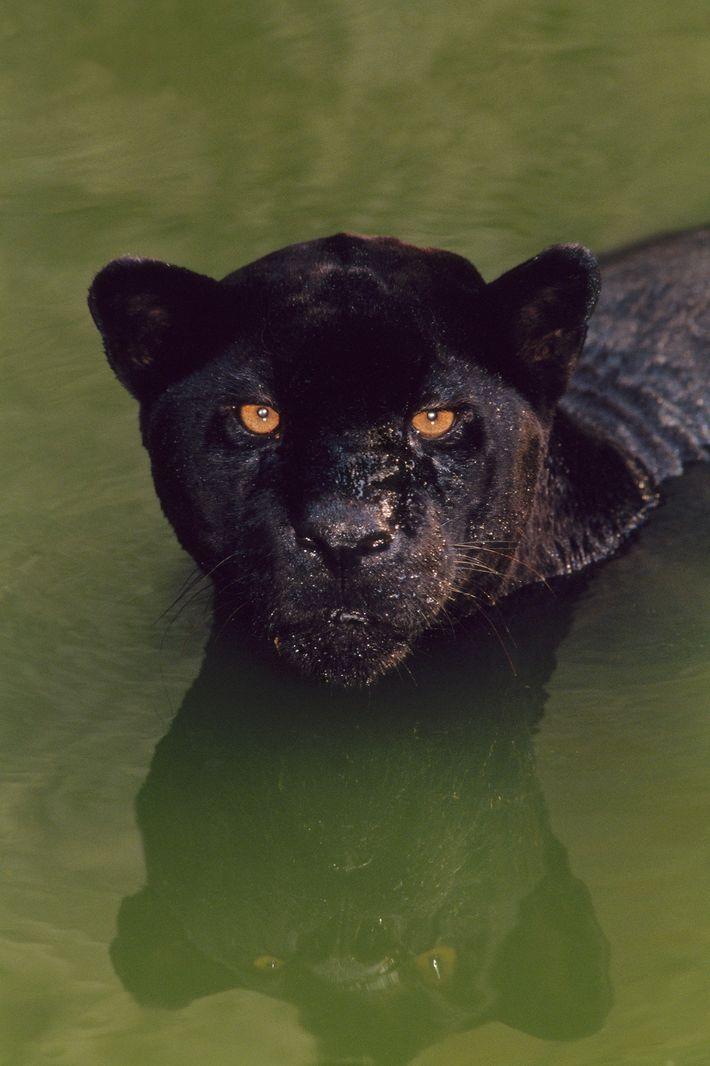 """Um jaguar negro a nadar nas águas do Brasil. O termo """"pantera negra"""" é um termo ..."""