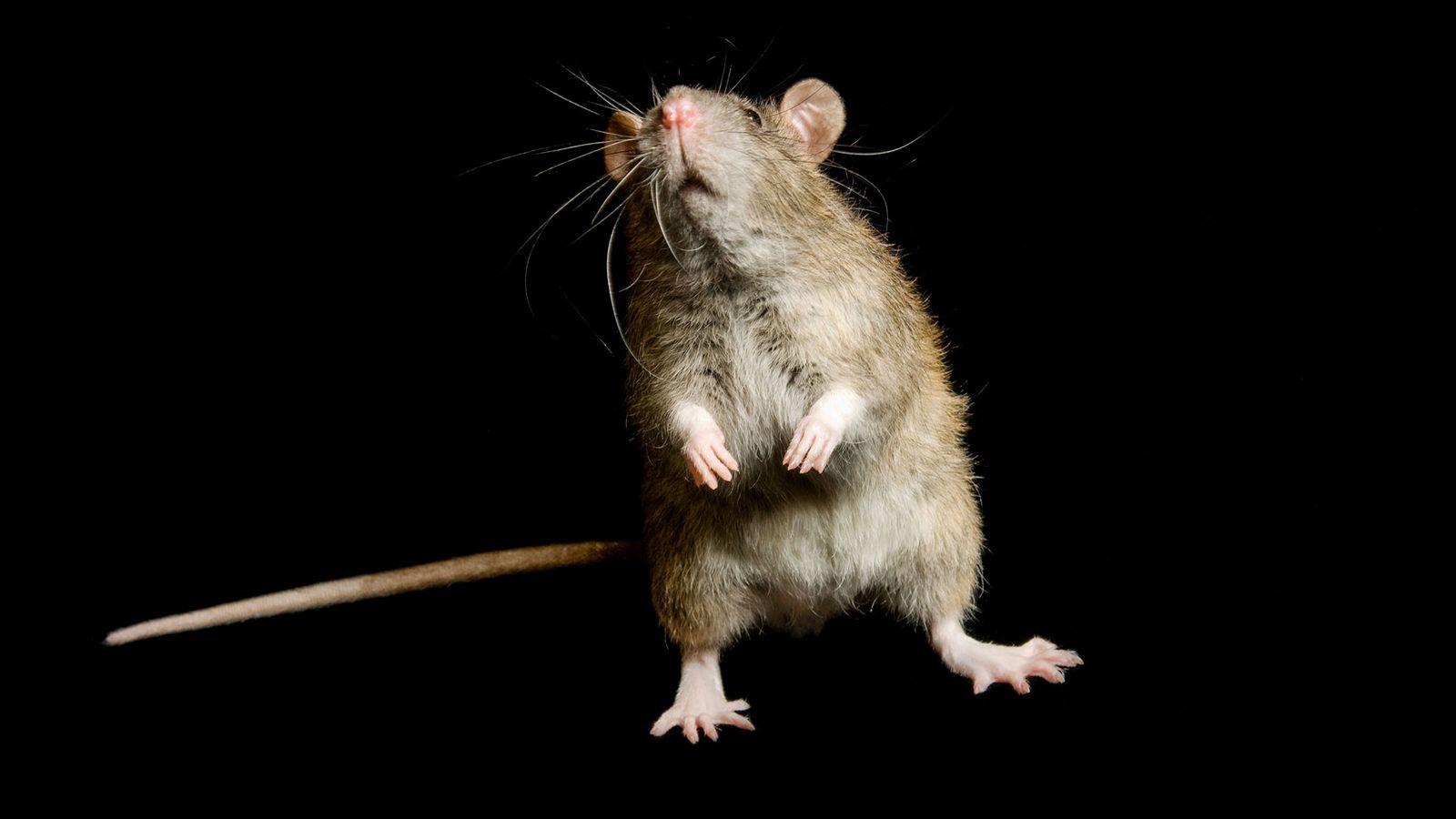 Um rato-preto