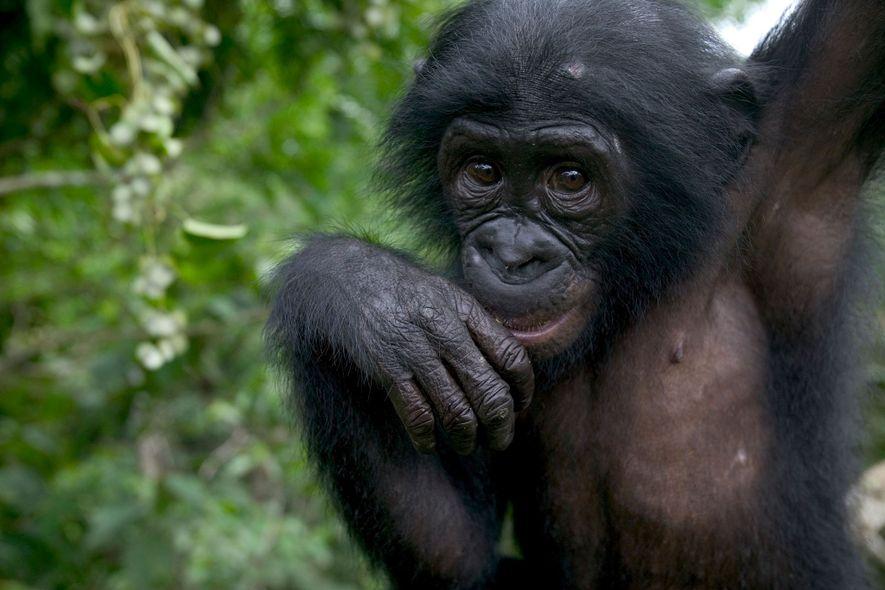 Este bonobo órfão vive no santuário Lola Ya Bonobo Chimpanzee na República Democrática do Congo. Os ...