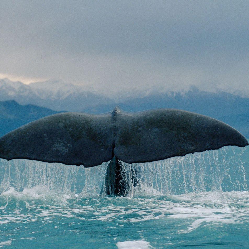 Podem as Baleias da Era Moderna Sobreviver aos Humanos?