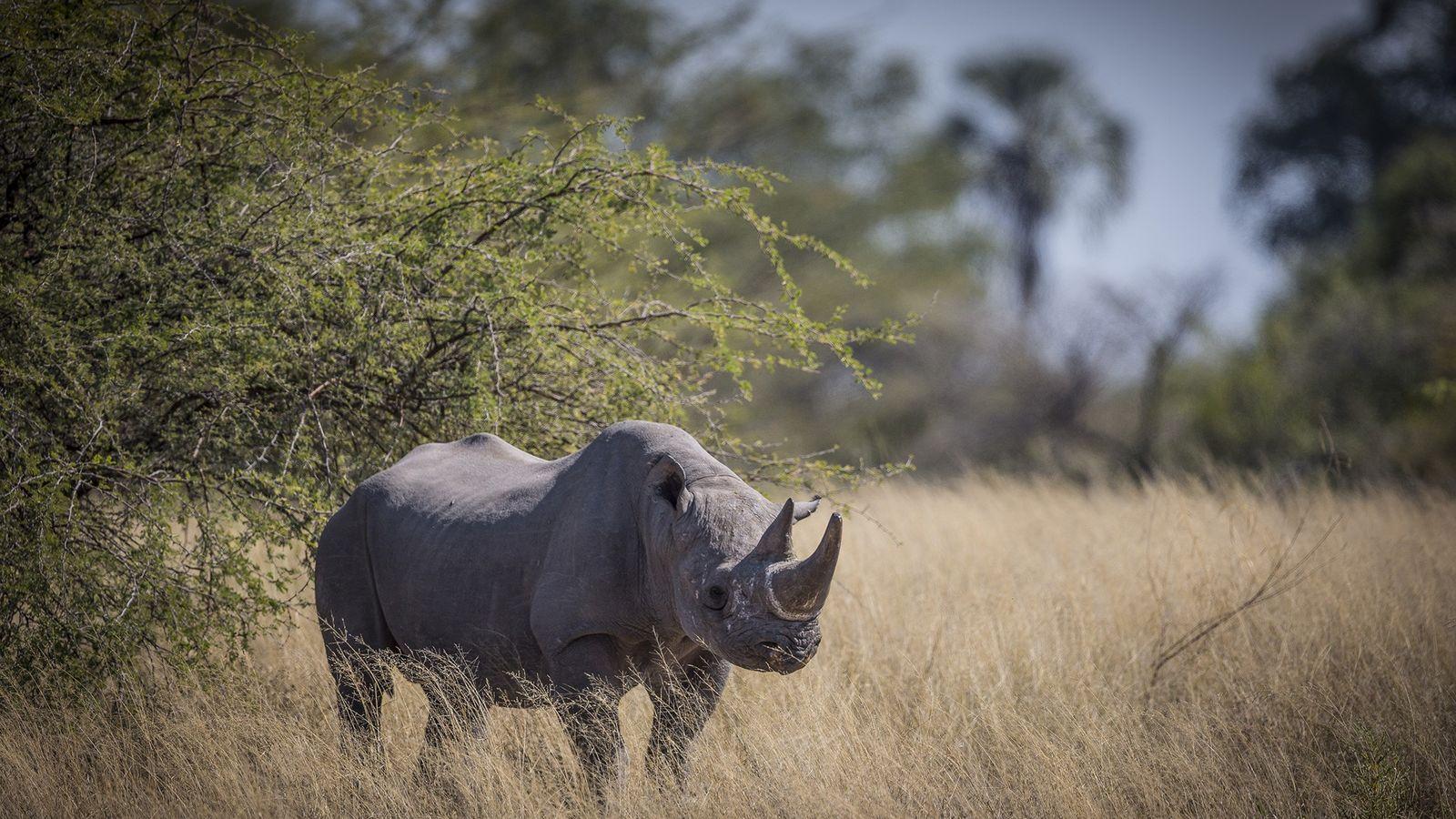 Os rinocerontes-negros estão em perigo crítico de extinção e são procurados pelos seus chifres por caçadores ...
