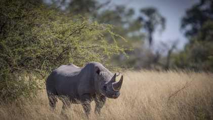 O Botsuana Está a Realocar Rinocerontes-negros Ameaçados Pela Caça Furtiva