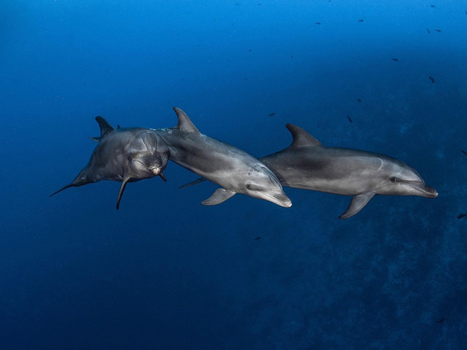 Roazes-corvineiros a nadar no Canal Rangiroa, na Polinésia Francesa. Estes mamíferos marinhos vivem em grupos de ...